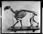 Smilodon Californicus [sabertooth] skeleton