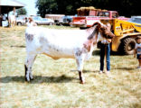 Cathy Engel Exhibits the Grand Champion Shorthorn Helfer