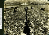 Interior view of the greenhouses that used to be on Northwest Highway.  Photo taken in the 1930s.
